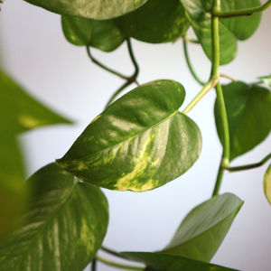 Pothos - care guide