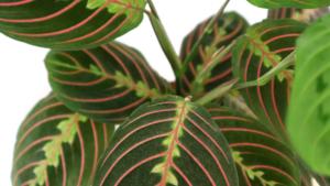 Maranta plant - grow it 4 times faster