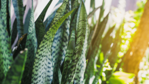 Sansevieria aka Snake plant - the best air purifying plant