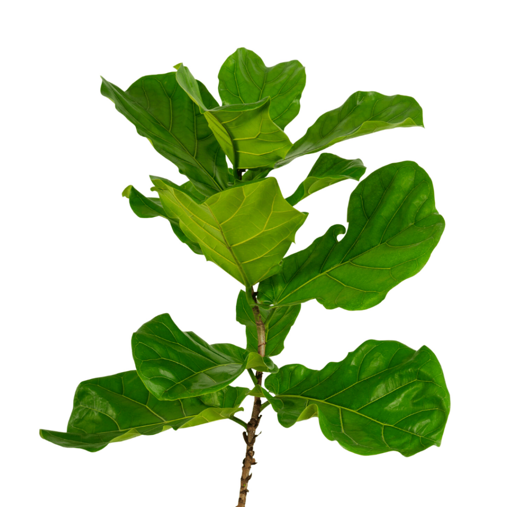 Long Leaf Ficus Trees For Sale Online