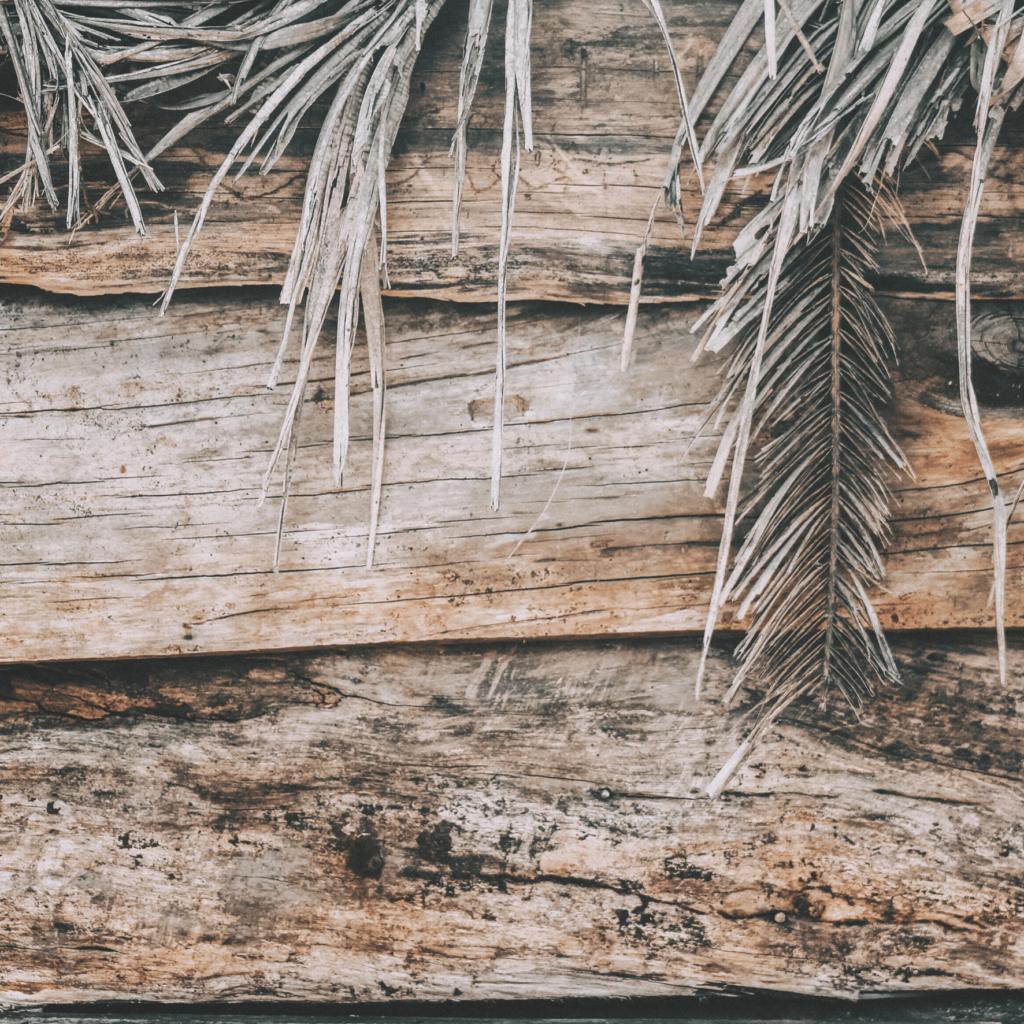areca palm mealybugs