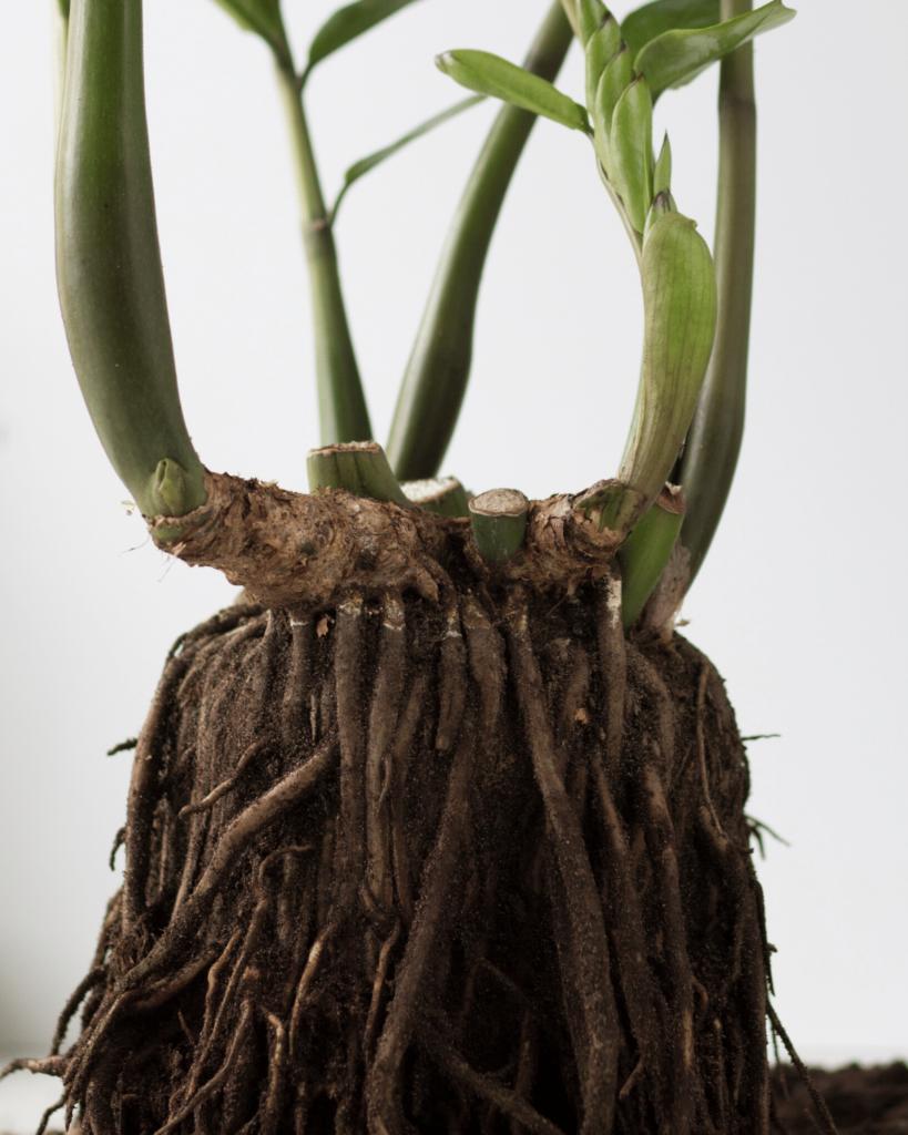 Zz Plant Zamioculcas Zamiifolia Care Piantica